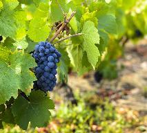 Beaujolais Nouveau: kiedy cały świat próbuje młodego beaujolais?