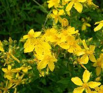 Nalewka z dziurawca - przepis na naturalny lek ziołowy