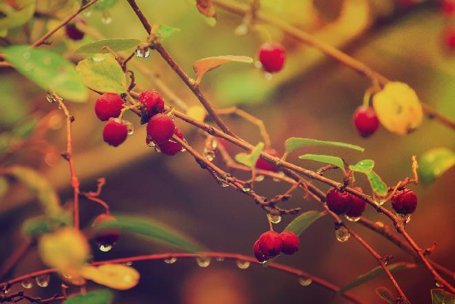 Głóg i owoce głogu: jakie mają właściwości?